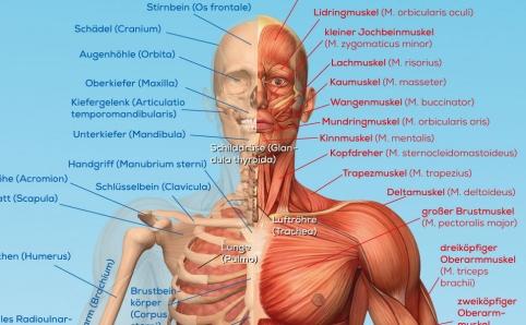Lernplakat - Der männliche Körper - kaufen bei chemoLine ...